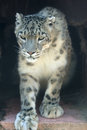 Snow leopard the close up of Royalty Free Stock Image