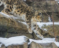 Snow leopard close up shot of a panthera uncia on a snowy day Royalty Free Stock Photography