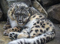 Snow leopard close up shot of a panthera uncia on a snowy day Royalty Free Stock Photo