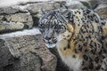 Snow leopard close up shot of a panthera uncia on a snowy day Royalty Free Stock Image
