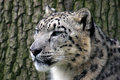 Snow leopard close up of a at whf in kent Stock Photography