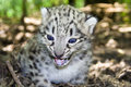 Snow leopard cub Royalty Free Stock Image