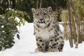 Snow leopard cub on snow bank one of a pair of month old twins born in the central park zoo this siring between bushes a being Royalty Free Stock Image