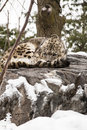 Snow leopard curled on rock w snow looking up a beautiful beige and white adult facing the camera with beautiful spots looks from Stock Photography