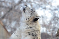Snow leopard a female looking upward Stock Photos