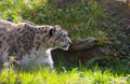 Snow leopard in forest Royalty Free Stock Image