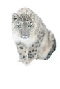 Snow leopard isolated on white background furtive Stock Photos
