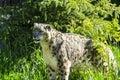 Snow leopard lat. unica unica Royalty Free Stock Photo