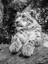 Snow leopard laying on a rock black and whithe image of Royalty Free Stock Photo