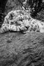 Snow leopard laying on a rock black and whithe image of Stock Photography
