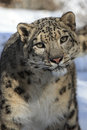 Snow leopard looking forward facing front portrait Royalty Free Stock Image