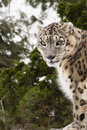 Snow Leopard with Piercing Eyes Gazing Royalty Free Stock Photo