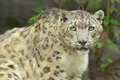 Snow leopard portrait of a captive Stock Photo