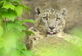 Snow leopard portrait of a captive Stock Images