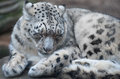 Snow leopard portrait of a he is sleeping Royalty Free Stock Photo