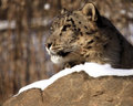 Snow Leopard Profile Royalty Free Stock Images