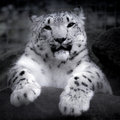 Snow leopard on a rock Royalty Free Stock Photos