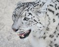 Snow leopard s portrait close up of beautiful head Stock Images