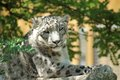Snow leopard s resting close up of beautiful head under tree branch on a big grey stone Royalty Free Stock Photos