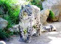 Snow leopard a shows off its coat Royalty Free Stock Photography