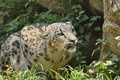 Snow leopard is sitting and watching something Royalty Free Stock Photos