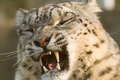 Snow leopard snarling Royalty Free Stock Photos