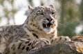 Snow leopard snarling Royalty Free Stock Images