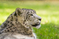 Snow leopard uncia uncia s portrait on green grass Royalty Free Stock Images