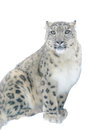 Snow leopard on white background isolated Stock Photos