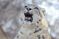 Snow leopard yawn a female in the middle of a Stock Image