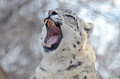 Snow leopard yawn a female in the middle of a Stock Photo