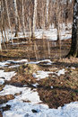 Snow melting in birch forest early spring Stock Images