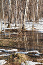 Snow melting in birch forest early spring Royalty Free Stock Photo