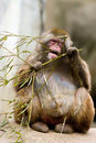 Snow monkey eating plant Stock Photos