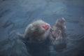 Snow Monkey in hot water at Jigokudani Onsen in Naga