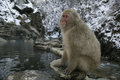 Snow monkey or japanese macaque macaca fuscata single on japan Royalty Free Stock Image