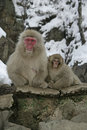 Snow monkey or japanese macaque macaca fuscata two mammals japan Stock Photography