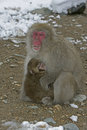 Snow monkey or japanese macaque macaca fuscata two mammals japan Stock Photo
