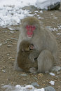 Snow monkey or japanese macaque macaca fuscata two mammals japan Stock Images