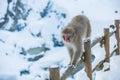 Snow Monkey on wooden fence at Jigokudani Onsen in Nagano, Japan