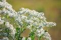 Snow on the mountain wildflower horizontal photo of named euphorbia marginata image taken august Royalty Free Stock Images