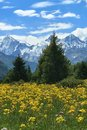 Snow Mountains Green Trees Yellow Flowers Royalty Free Stock Photo