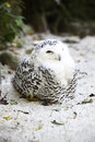 Snow owl in a deer park Royalty Free Stock Images