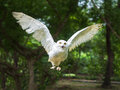 Snow owl in flying action with wing full spand see at camera Stock Images