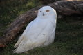 Snow owl Royalty Free Stock Photo