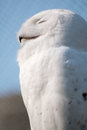 Snow Owl in Portrait Royalty Free Stock Photo
