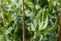 Snow pea Royalty Free Stock Photo