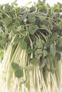 Snow Pea Sprouts Isolated Royalty Free Stock Photo