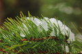 Snow on a pine. Royalty Free Stock Photo