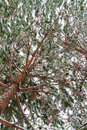 Snow Pine Branches With Cones ...